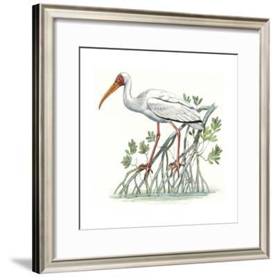 Birds: Ciconiiformes, Milky Stork, (Mycteria Cinerea)--Framed Giclee Print