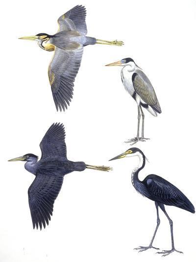 Birds: Ciconiiformes--Giclee Print