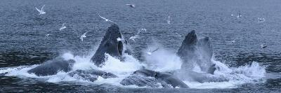 Birds Clusters over a Pod of Humpback Whales Bubble Net Feeding in the Inside Passage-Michael Melford-Photographic Print