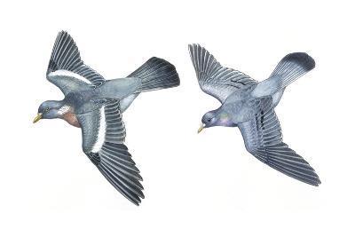 Birds: Columbiformes, Stock Pigeon or Stock Dove (Columba Oenas) and Wood-Pigeon (Columba Palumbus)--Giclee Print
