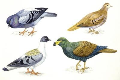 https://imgc.artprintimages.com/img/print/birds-columbiformes_u-l-puwm5n0.jpg?p=0