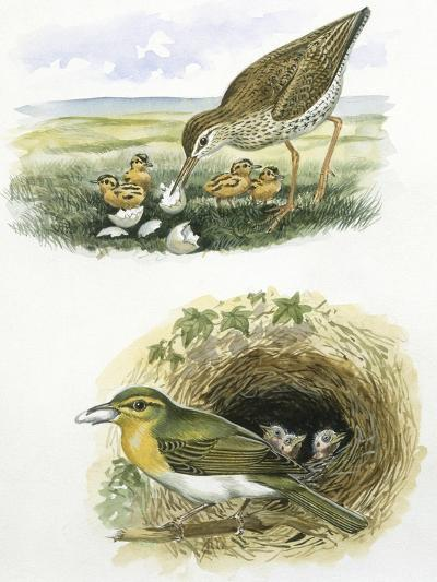 Birds: Common Redshank (Charadriiformes--Giclee Print