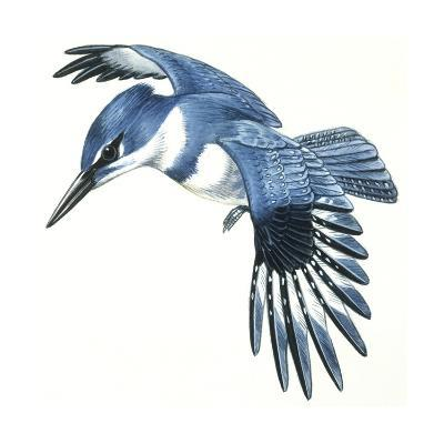 Birds: Coraciiformes, Belted Kingfisher (Megaceryle Alcyon)--Giclee Print