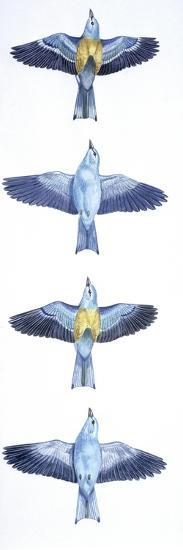 Birds: Coraciiformes, European Roller (Coracias Garrulus), Courtship, Rolling in Flight Stages--Giclee Print