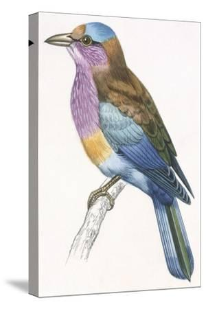 Birds: Coraciiformes, European Roller (Coracias Garrulus)