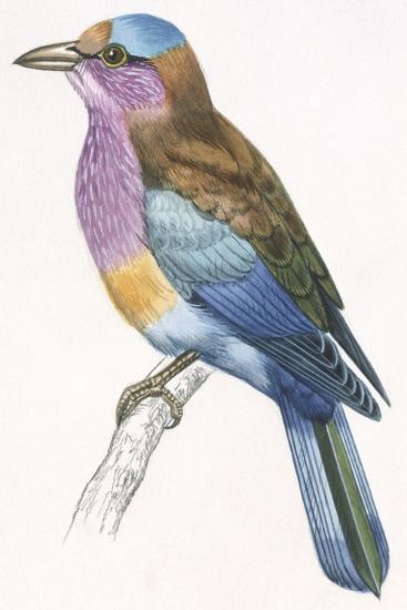 Birds: Coraciiformes, European Roller (Coracias Garrulus)--Giclee Print