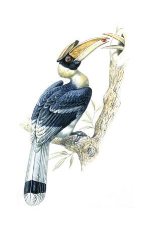 Birds, Coraciiformes, Great Hornbill, (Buceros Bicornis), Male Feeding, Female Sitting on Nest