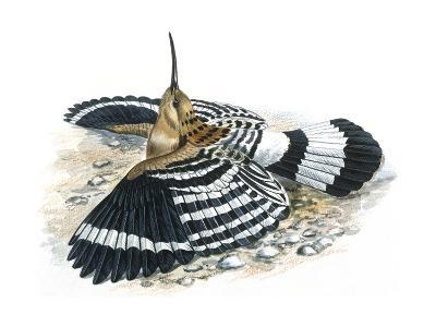 Birds: Coraciiformes, Hoopoe (Upupa Epops) Camouflaging--Giclee Print