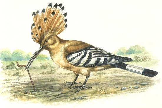 Birds: Coraciiformes, Hoopoe (Upupa Epops) Capturing Earthworm--Giclee Print