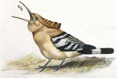 Birds: Coraciiformes, Hoopoe (Upupa Epops) Catching Larva--Giclee Print