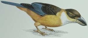 Birds: Coraciiformes, Malachite Kingfisher (Alcedo Cristata)