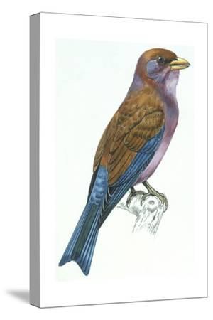 Birds: Coraciiformes, Racket-Tailed Roller (Coracias Spatulatus)