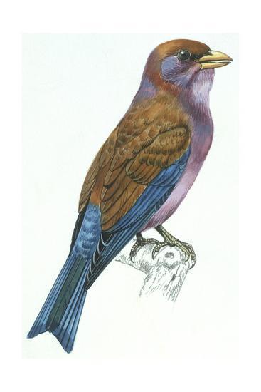 Birds: Coraciiformes, Racket-Tailed Roller (Coracias Spatulatus)--Giclee Print