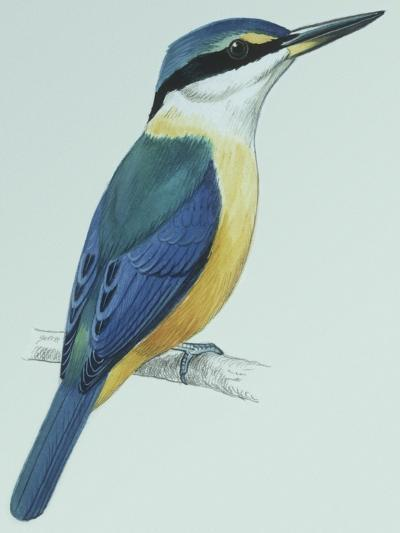 Birds: Coraciiformes, Sacred Kingfisher (Todiramphus Sanctus)--Giclee Print