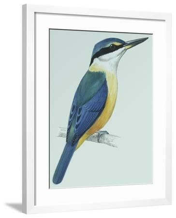 Birds: Coraciiformes, Sacred Kingfisher (Todiramphus Sanctus)--Framed Giclee Print
