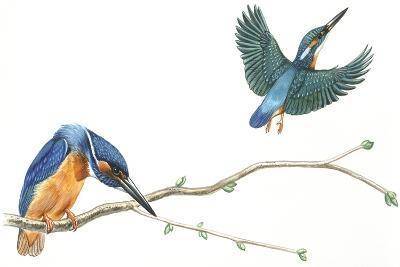 Birds: Coraciiformes--Giclee Print