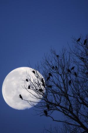 https://imgc.artprintimages.com/img/print/birds-crows-silhouette-at-night-moon_u-l-q11vfy30.jpg?p=0