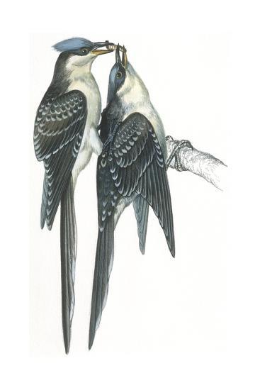 Birds: Cuculiformes, Great Spotted Cuckoos, (Clamator Glandarius) Mating--Giclee Print