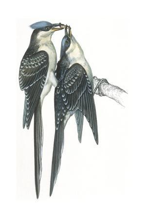 https://imgc.artprintimages.com/img/print/birds-cuculiformes-great-spotted-cuckoos-clamator-glandarius-mating_u-l-pv2bke0.jpg?p=0