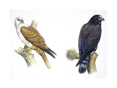Birds: Falconiformes, Brahminy Kite (Haliastur Indus) and Zone-Tailed Hawk (Buteo Albonotatus)--Giclee Print
