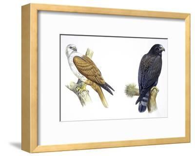Birds: Falconiformes, Brahminy Kite (Haliastur Indus) and Zone-Tailed Hawk (Buteo Albonotatus)