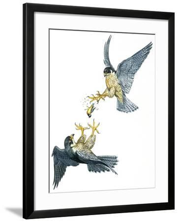 Birds: Falconiformes, Couple of Peregrine Falcon (Falco Peregrinus) Chasing for Prey--Framed Giclee Print