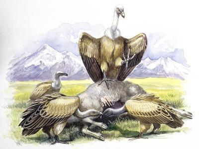 Birds: Falconiformes, Eurasian Griffon Vulture, (Gyps Fulvus) Feeding on Dead Animal--Giclee Print