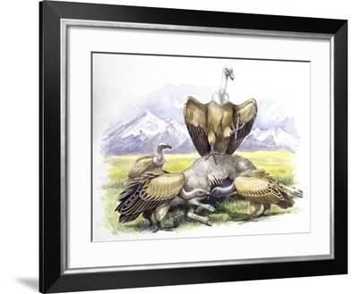 Birds: Falconiformes, Eurasian Griffon Vulture, (Gyps Fulvus) Feeding on Dead Animal--Framed Giclee Print