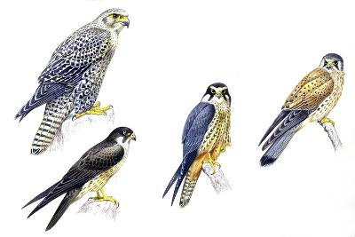 Birds: Falconiformes--Giclee Print