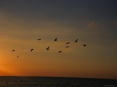 Birds Fly into the Wind above the Gulf of Mexico's Warm Water, Holmes Beach, Florida-Stacy Gold-Photographic Print