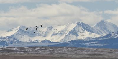 Birds Fly Near the Front Range of the Rocky Mountains in Montana-Michael Melford-Photographic Print