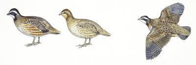 Birds: Galliformes, Bobwhite Quail (Colinus Virginianus), Male and Female--Giclee Print