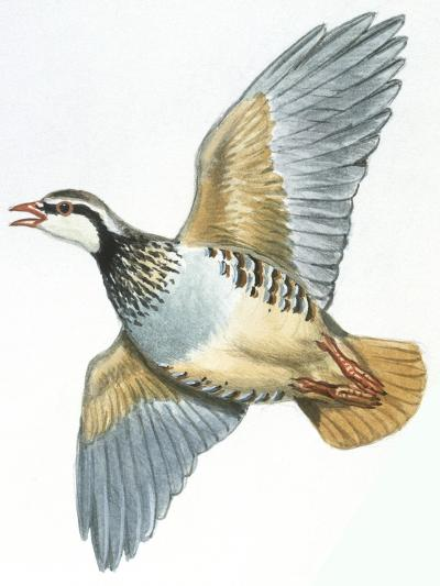 Birds: Galliformes, Red-Legged Partridge (Alectoris Rufa)--Giclee Print