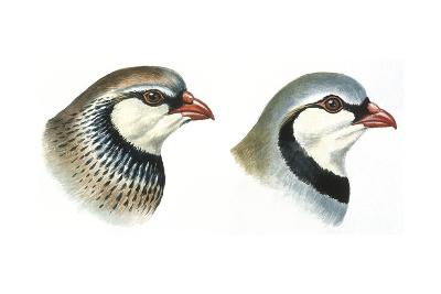 Birds: Galliformes--Giclee Print
