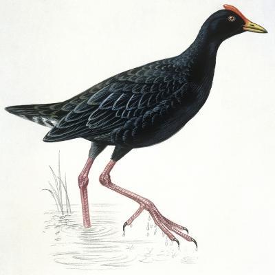 Birds: Gruiformes, Common Moorhen (Gallinula Chloropus)--Giclee Print