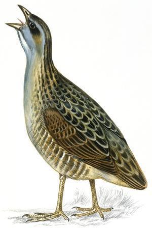 https://imgc.artprintimages.com/img/print/birds-gruiformes-corn-crake-crex-crex_u-l-pveiw50.jpg?p=0