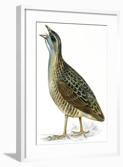 Birds: Gruiformes, Corn Crake (Crex Crex)--Framed Giclee Print