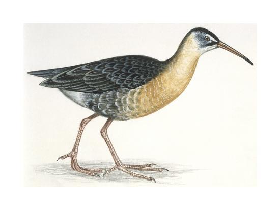Birds: Gruiformes, Water Rail (Rallus Aquaticus)--Giclee Print