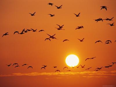 Birds in Flight Against Sunset Sky, Wattenmeer National Park, Germany-Norbert Rosing-Photographic Print