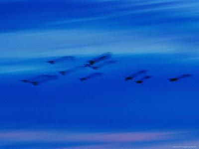 Birds in Flight in a Blue Twilight Sky-Randy Olson-Photographic Print