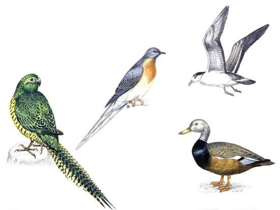 Birds: Night Parakeets: Psittaciformes: Night Parrot (Pezoporus Occidentalis)--Giclee Print