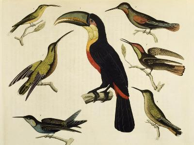 Birds of Brazil, from South America, 1827--Giclee Print