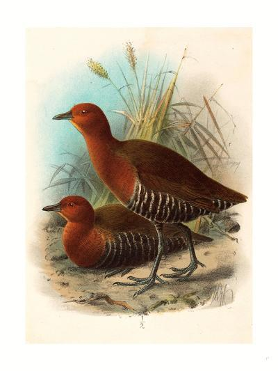 Birds of Philippines, Color Lithograph--Giclee Print