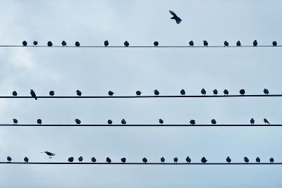 Birds on a Wire.-John Greim-Photographic Print