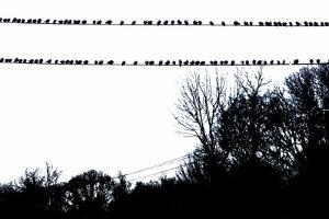 Birds on Telephone Wires