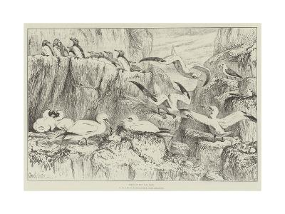 Birds on the Bass Rock, in the Natural History Museum, South Kensington-Samuel John Carter-Giclee Print