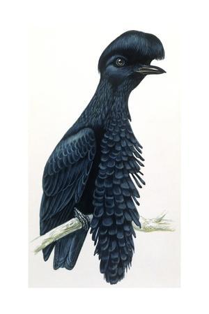 https://imgc.artprintimages.com/img/print/birds-passeriformes-amazonian-umbrellabird-cephalopterus-ornatus_u-l-pv273z0.jpg?p=0