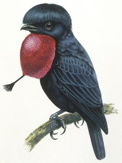 Birds, Passeriformes, Amazonian Umbrellabird, (Cephalopterus Ornatus)--Giclee Print