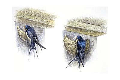 Birds: Passeriformes, Barn Swallow (Hirundo Rustica) Building Nest--Giclee Print