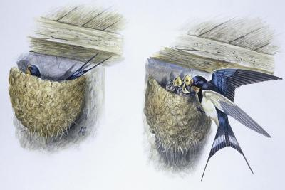 Birds: Passeriformes, Barn Swallow (Hirundo Rustica) in Nest and Feeding Chicks--Giclee Print